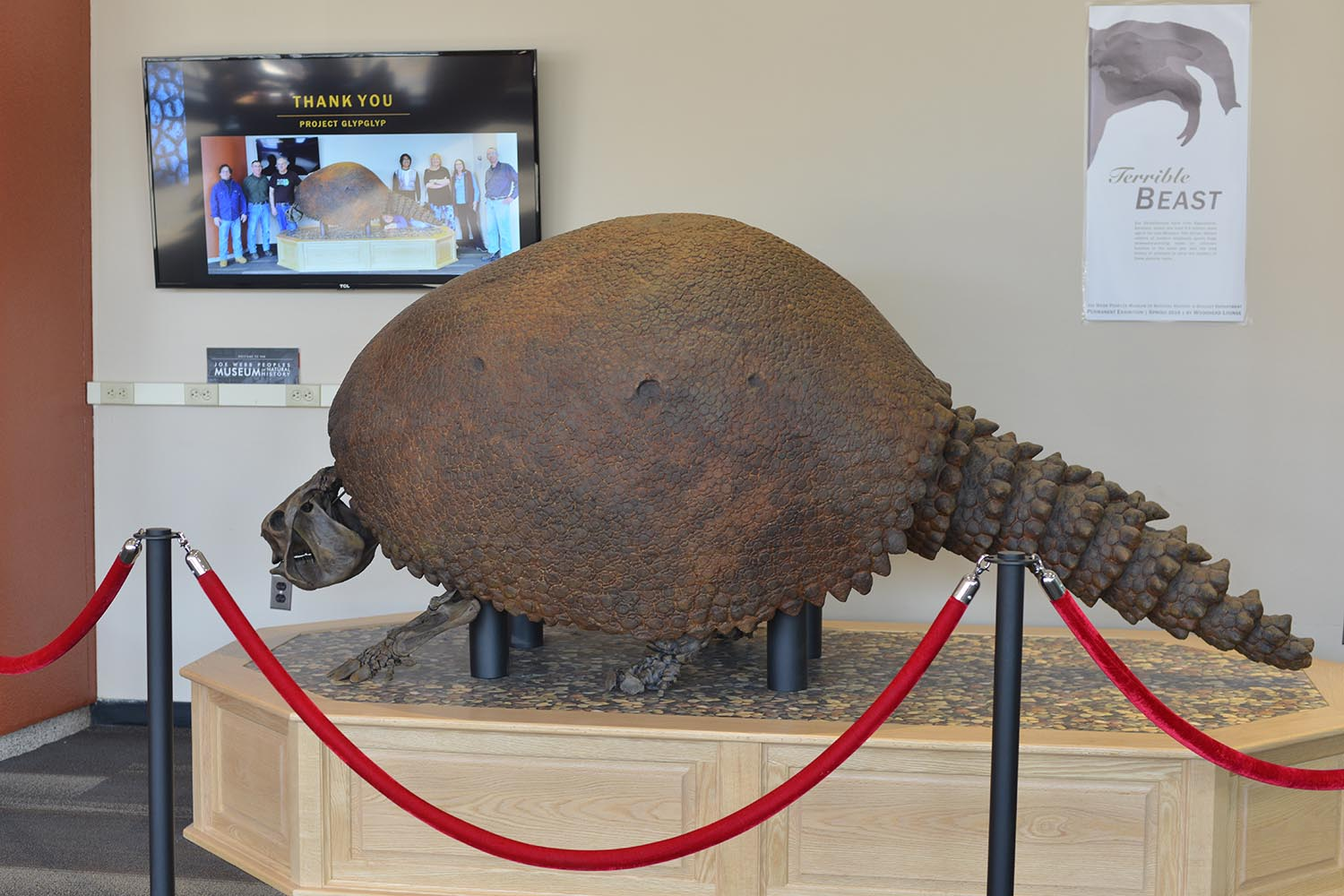 The Deinotherium joins Shelley the Glyptodon inside Exley Science Center. This 8-foot-long fossil cast of an armadillo-like animal also was found in the Exley penthouse and was installed in February 2018. Read more about Shelley in this past Wesleyan Connection article. (Photos by Olivia Drake)