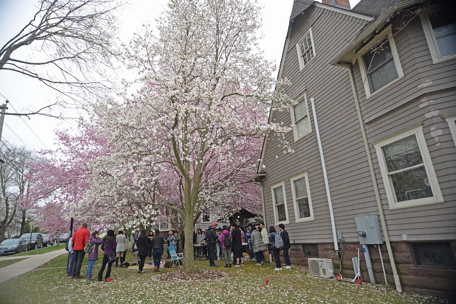 "Every spring, the Japanese celebrate Ohanami, or ""flower viewing"" during the time when sakura, or cherry blossoms are in bloom. On April 18, Wesleyan's Japanese community hosted its annual Ohanami outside the College of East Asian Studies."