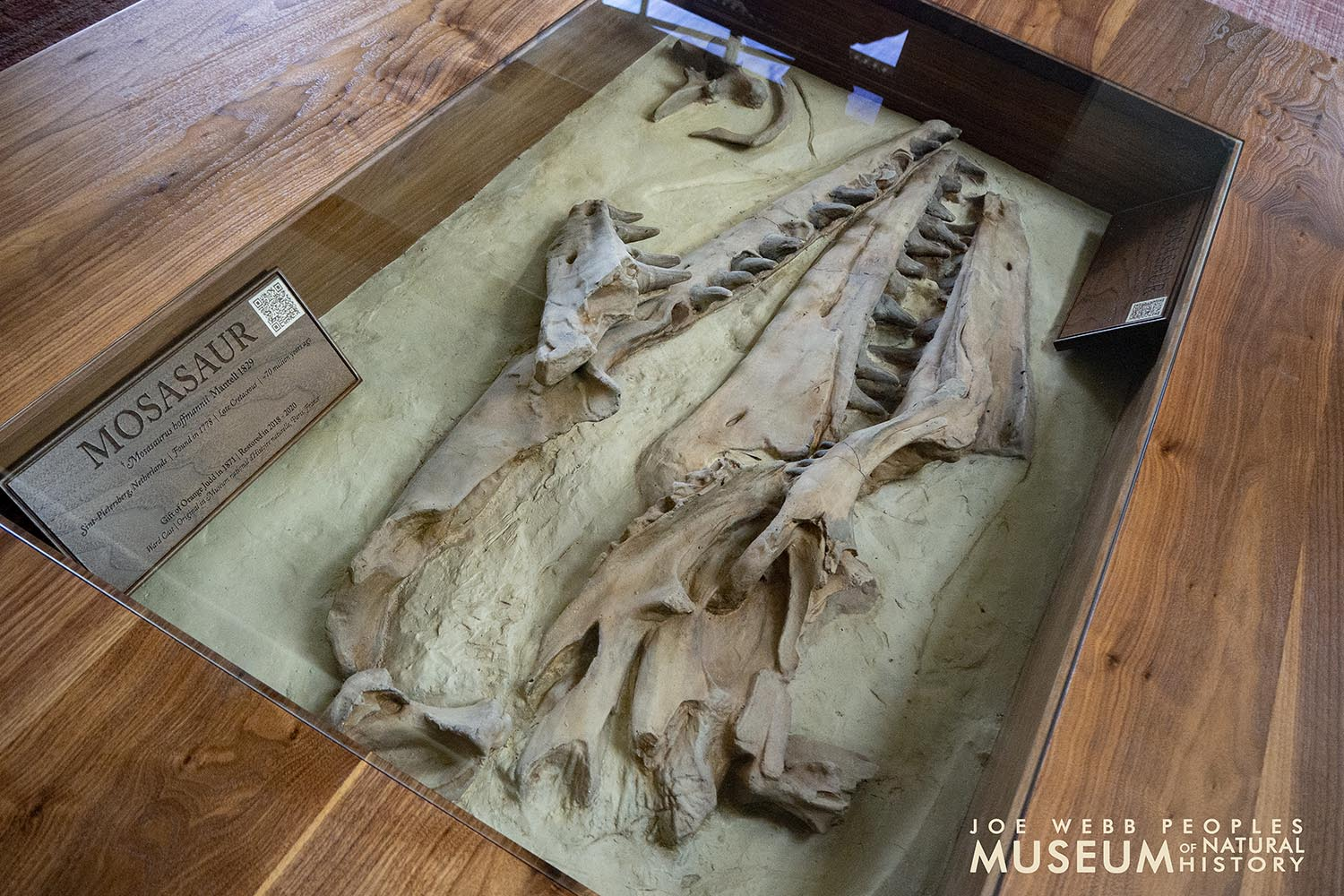 The mosasaur cast is mounted in a 37-by-57-inch tempered glass case.