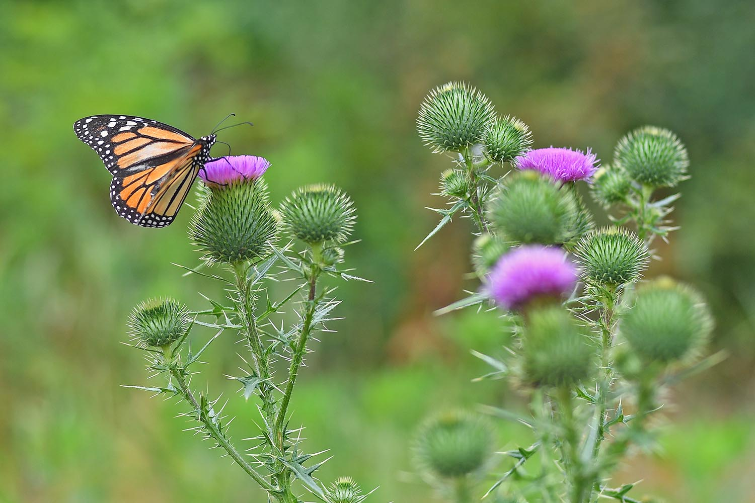 A monarch butterfly drinks nectar from a thistle flower.