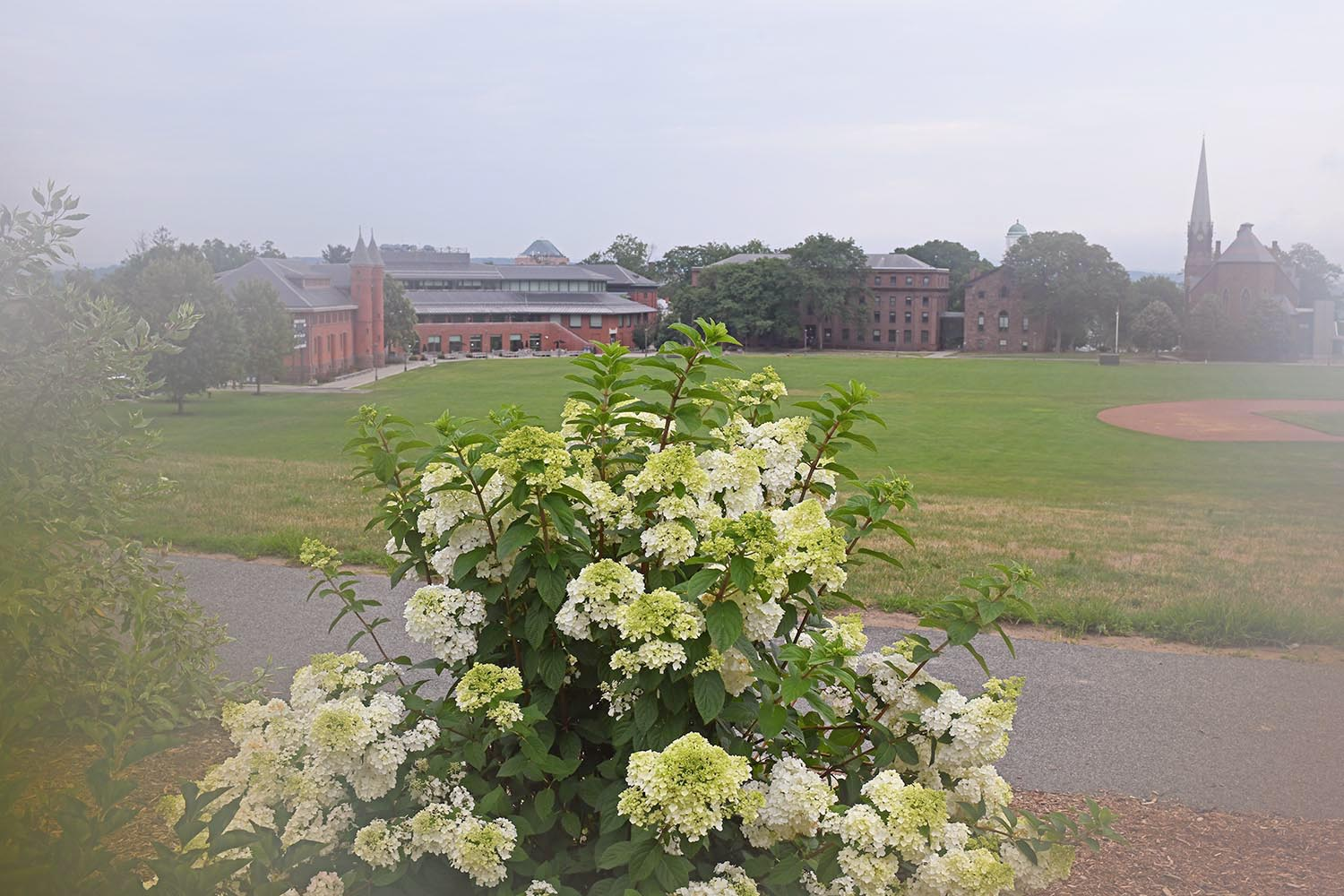 Limelight hydrangeas are planted atop Foss Hill and overlook Andrus Field.