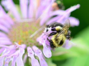 A bee gathers nectar from a bee balm flower